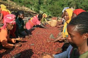 エチオピア / イルガチェフェ / ナチュラル / 中煎りの販売を始めました。